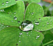 Reflections In Water Posters - Water Drop on Shamrock Poster by Barbie Marquart