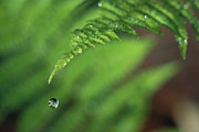 Droplet Prints - Water Droplet Falling From Fern Leaf Print by Michael Durham