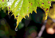 Tree Leaf On Water Posters - Water Droplet on Leaf Poster by Greg Thiemeyer