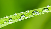 Grasses Prints - Water drops on grass blade Print by Elena Elisseeva