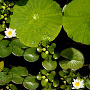 Lily Pad Prints - Water drops Print by Tom Prendergast