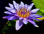 Waterlily Art - Water Flower by Nick Zelinsky
