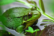 Green Frog Prints - Water Garden Print by Christina Rollo