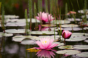 Water Lily Picture Prints - Water lilies Print by Angela Doelling AD DESIGN Photo and PhotoArt