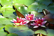 Arnis Macans - Water Lilies in bloom