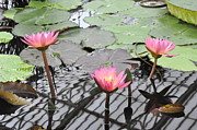 Tanya  Searcy - Water Lilies In Kew...