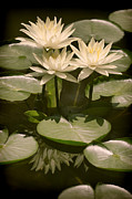 Muted Framed Prints - Water Lilies in Muted Tones Framed Print by Linda Phelps