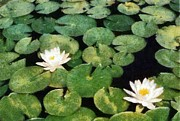Lake Relections Prints - Water Lilies Print by Michelle Calkins