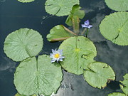 Banquet Prints - Water Lilies Print by Renee Barnes