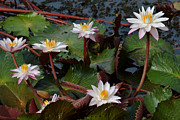 Nalini Pitigala - Water Lilly Family..
