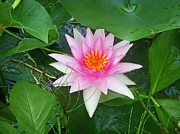 Lily Art - Water Lily by Aimee L Maher