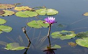 Dragon Fly Photo Prints - Water Lily and Dragon Fly One Print by J Jaiam