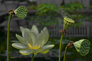 Remix Prints - Water Lily and Dragonfly Print by Olia Saunders
