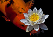 Aquatic Plants Posters - Water Lily and Koi Poster by Kim Michaels