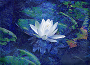 White Water Lilies Framed Prints - Water Lily Framed Print by Ann Powell