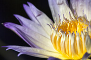 Macro Photography Pyrography Metal Prints - Water Lily close up - 2 Metal Print by Eyzen Medina