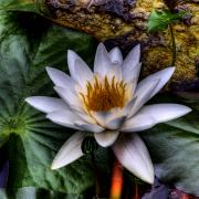 Water Lilly Posters - Water Lily Poster by David Patterson