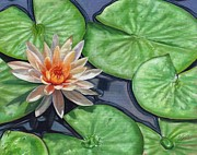 Pads Painting Framed Prints - Water Lily Framed Print by David Stribbling