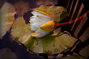 Droplet Framed Prints - Water Lily Framed Print by Debra and Dave Vanderlaan
