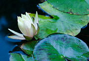 Water Lily Print by Don Schwartz