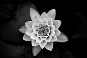 White Waterlily Framed Prints - Water Lily Framed Print by Hakon Soreide