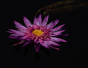 Ursula Lawrence - Water Lily I