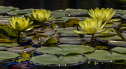 Ursula Lawrence - Water Lily II