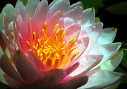 Renee Trenholm Posters - Water Lily in the Sun Poster by Renee Trenholm
