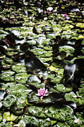Water Lily Leaves Framed Prints - Water Lily Framed Print by Joana Kruse
