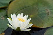 Nymphaea Plants Framed Prints - Water Lily Framed Print by Matt Dobson