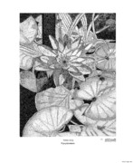 Profiles Drawings - Water Lily Nymphaeacea by Arthur Eggers
