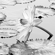 Sabrina L Ryan - Water Lily on its Side #2