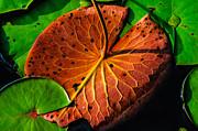 Water Lily Pad Print by Louis Dallara