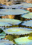 Aqua Art Prints - Water Lily Pads in the Morning Light Print by Sabrina L Ryan