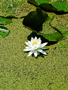 Lotus Blossoms Photos - Water Lily by Rhonda Barrett