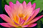 Water Lily Print by Frozen in Time Fine Art Photography