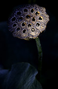 Water Garden Photos - Water Lily Seed Pod by Julie Palencia