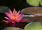 Hawaiian Pond Prints - Water Lily Soaking up the Sunlight Print by Sabrina L Ryan