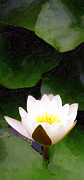 Paradise Point Prints - Water Lily Study 1 Print by Ron Regalado
