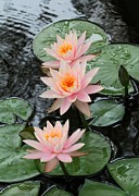 Water Lily Trio Print by Sabrina L Ryan