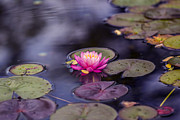Tiny Leaves Prints - Water Lily - VanDusen Botanical Garden Print by May L