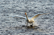 Flying Swan Photos - Water Skiing by Michal Boubin