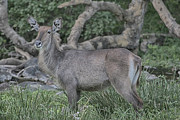 Gary Hall - Waterbuck - Female