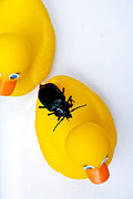 Perched Prints - Waterbug on Rubber Duck - Aerial View Print by Amy Cicconi