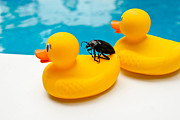 Sitting Ducks Prints - Waterbug takes Yellow Taxi Print by Amy Cicconi