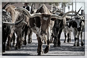 Black-and-white Framed Prints - Watercolor Longhorns Framed Print by Joan Carroll