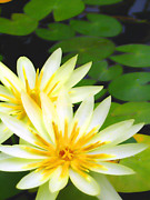 Lotus Full Bloom Framed Prints - Waterlilies in pond Framed Print by Amber Nissen
