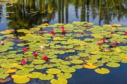 Patricia Hofmeester - Waterlilies in pond