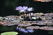 Waterlily Poster Posters - Waterlilies Poster by Paulina Roybal