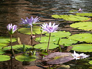 Waterlily Poster Posters - Waterlilies-Purple  Poster by Lynn Hall